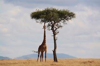 Giraffe tallest living animal on Earth
