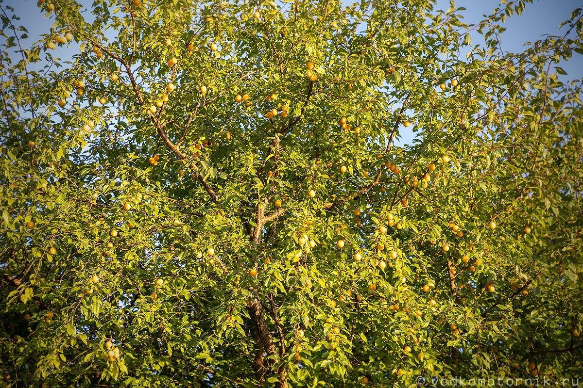 Прусские абрикосы созрели