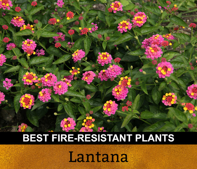 Best Fire Resistant Plants Lantana