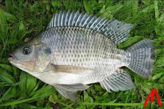 Cara Mengawinkan Ikan Mujaer yang Benar Agar Cepat Panen