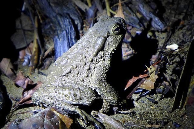 Sarawak Frog Race Borneo