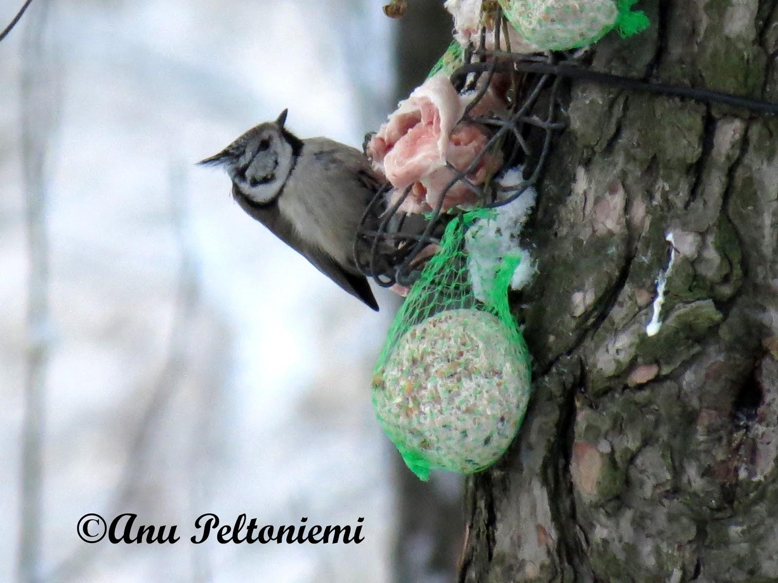Talvehtivat Linnut