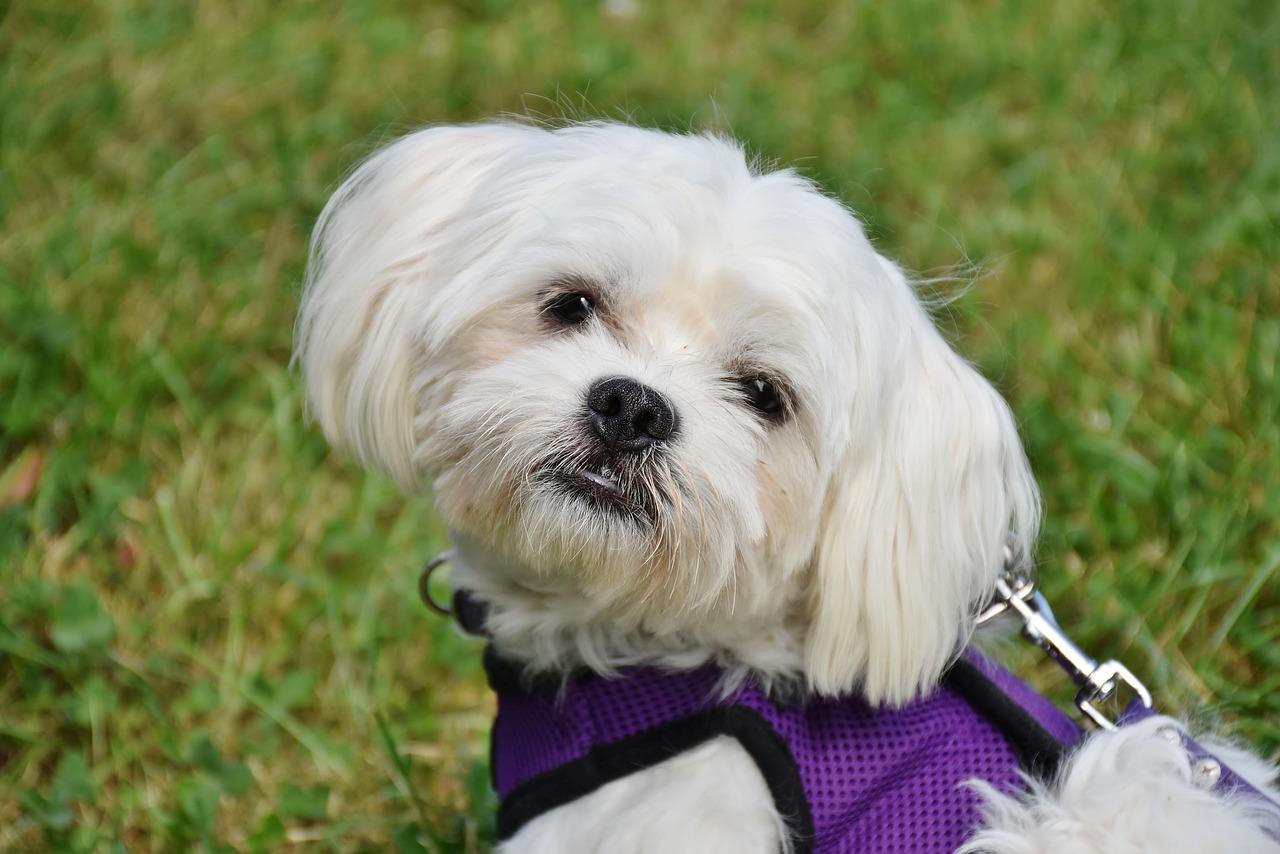 Que faire pour éviter la perte de cheveux chez les chiens?