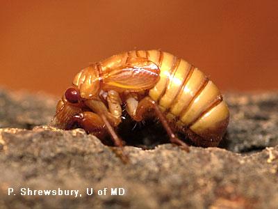 cicada nymph - photo #19