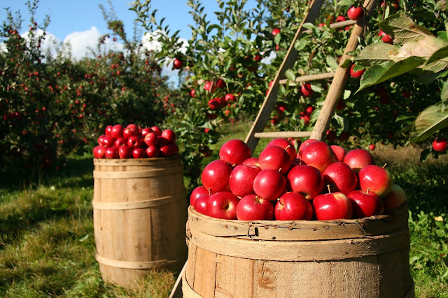 fall apple harvest at the orchard