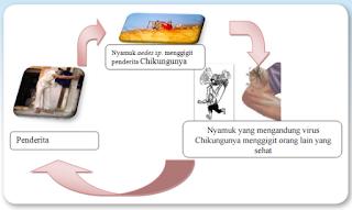 Mekanisme Penularan Chikungunya