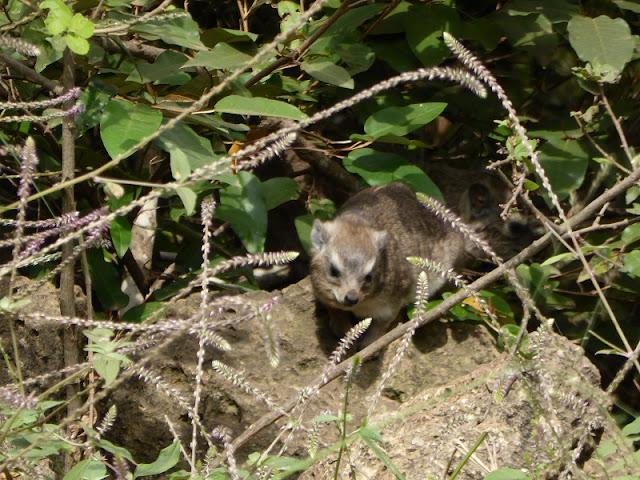 Nairobi National Park, rock hyrax