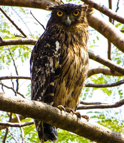 Birds of India - Photo of Brown fish owl- Ketupa zeylonensis