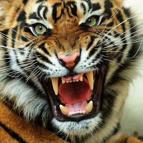 Hd Animals Wallpapers Angry Tiger Face Pictures