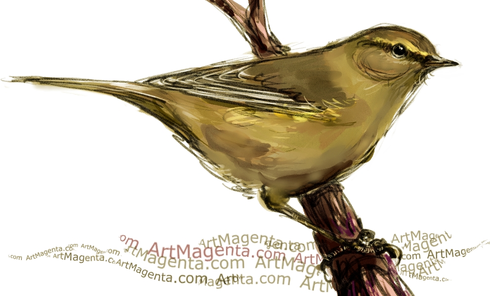 Chiffchaff sketch painting. Bird art drawing by illustrator Artmagenta.