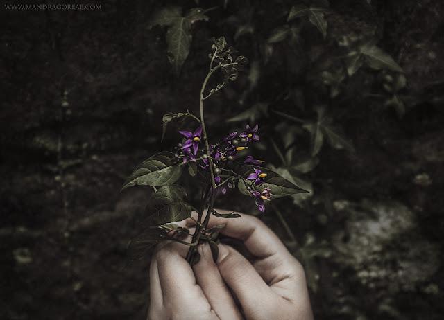 Solanum Dulcamara, Bittersweet Nightshade, Amara Dulcis.