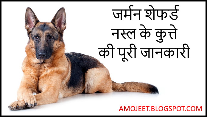 German-shepherd-dog-breed-full-information-in-hindi
