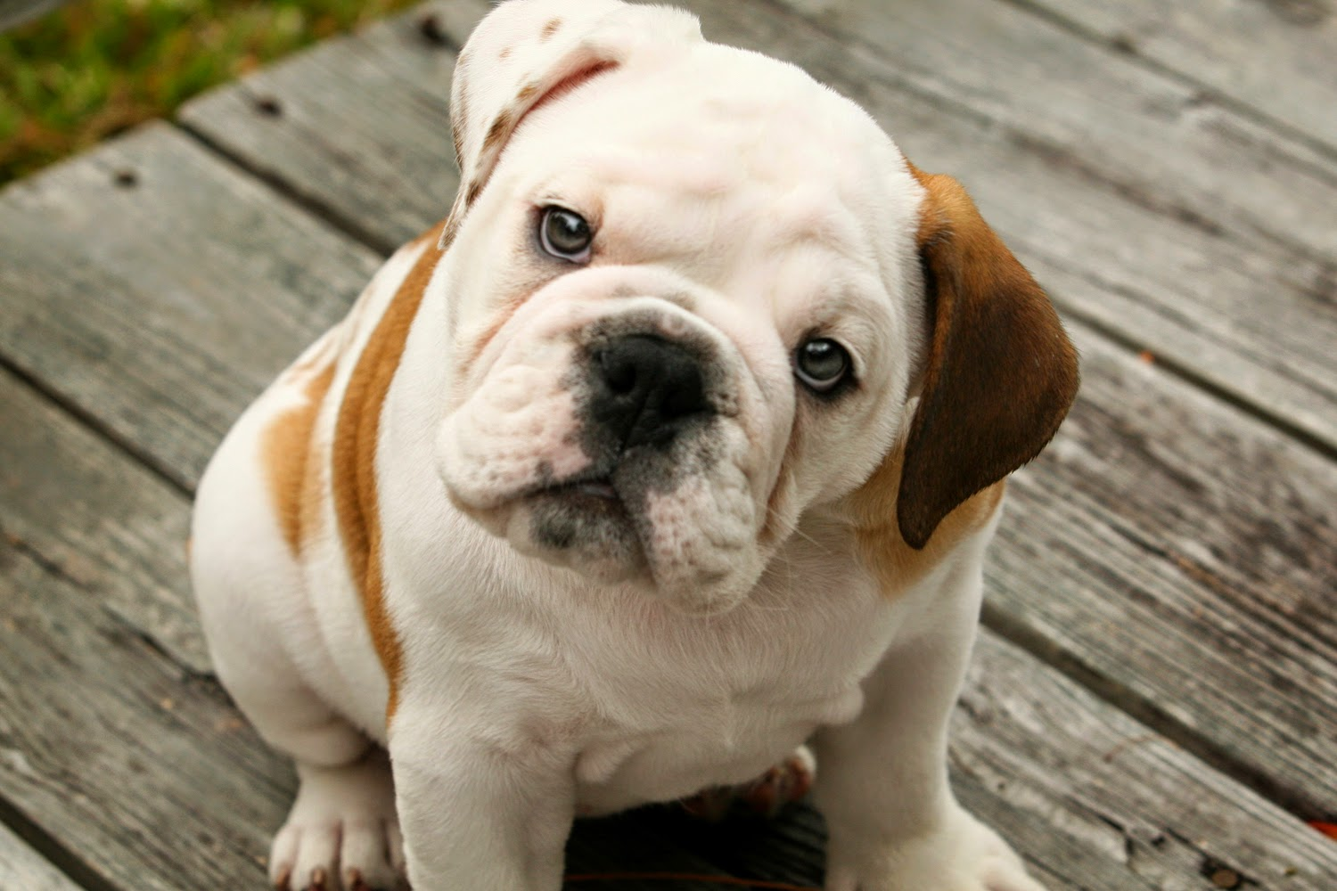 rules of the jungle: cheap bulldog puppies