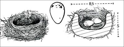 Fiofío silbón Elaenia albiceps