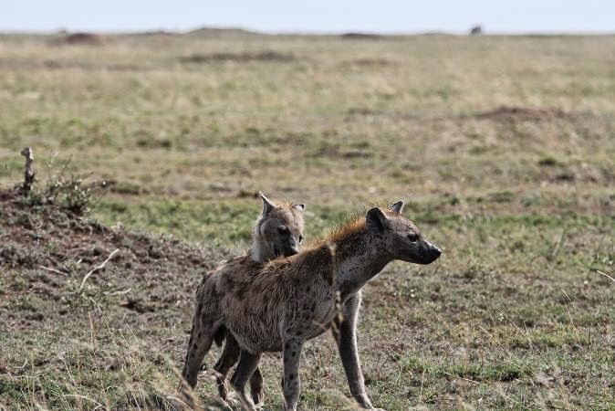 Do Female Hyenas Have Male Genitalia