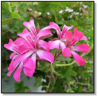 Blüte einer hängenden Geranie
