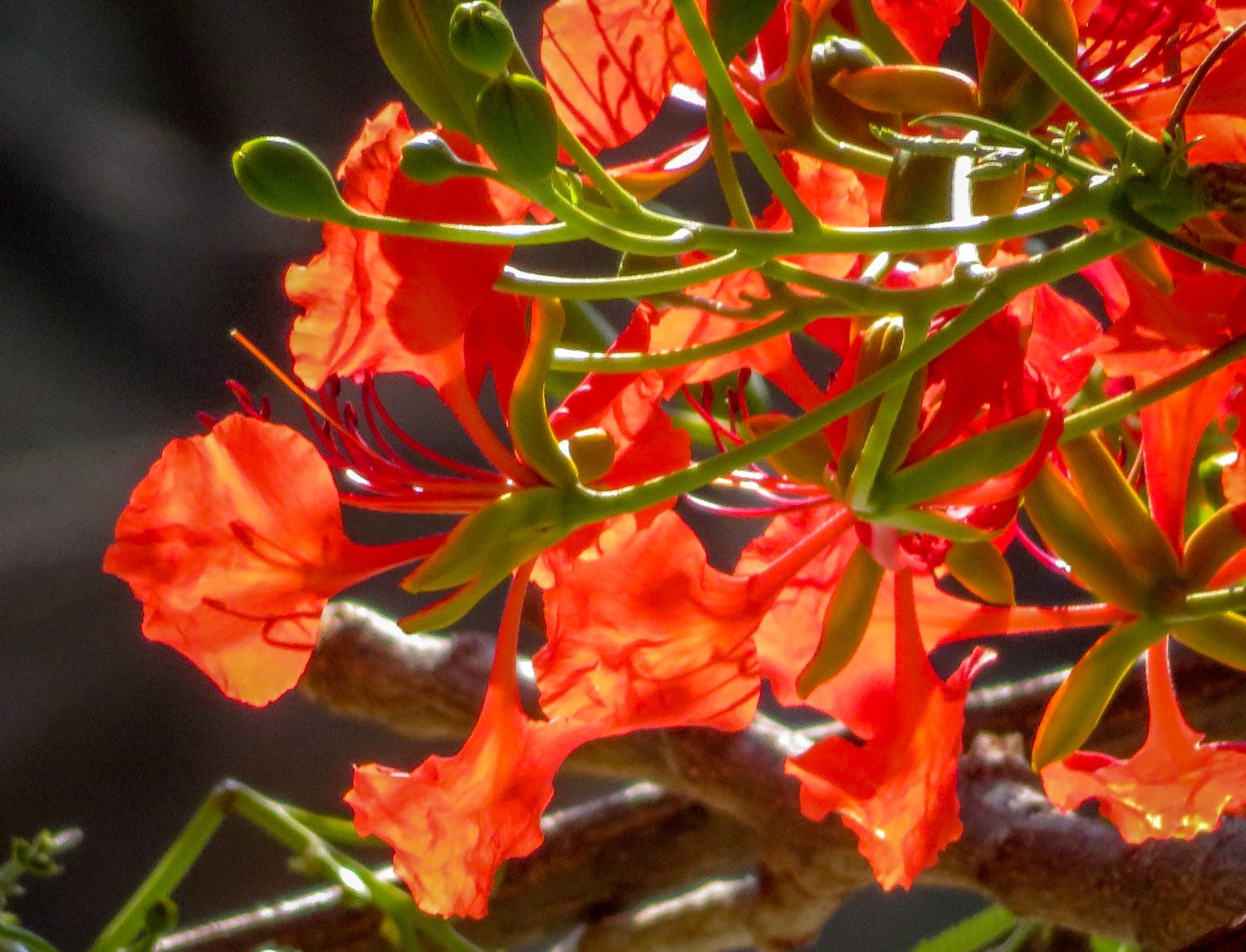 Oaxaca flowers and trees y knot blog flame tree close up they made the courtyard glow mightylinksfo