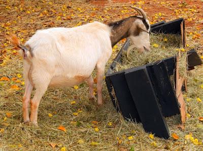 A cabrita se alimenta em Holambra, durante a Expoflora de 2015. (Publicado originalmente no Facebook em 28 de setembro de 2015)