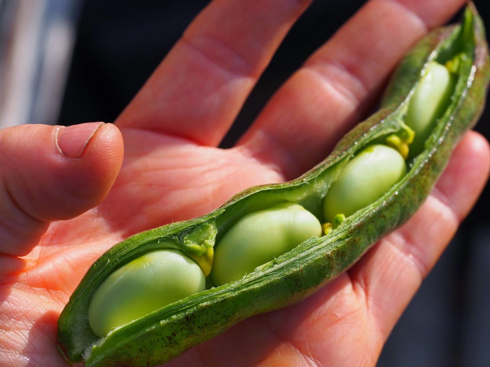 Arets forsta gurka har skordats
