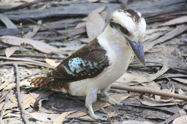 kookaburra sitting on ground