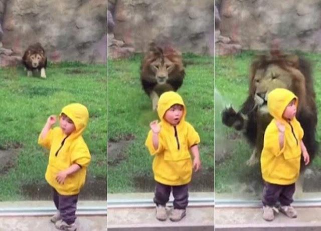 Video: león que intenta atacar a niño en zoológico de Japón