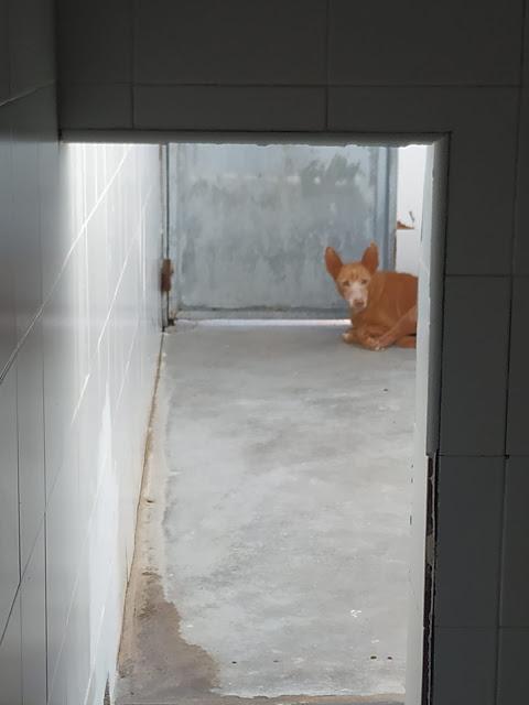 adoptar perra podenca