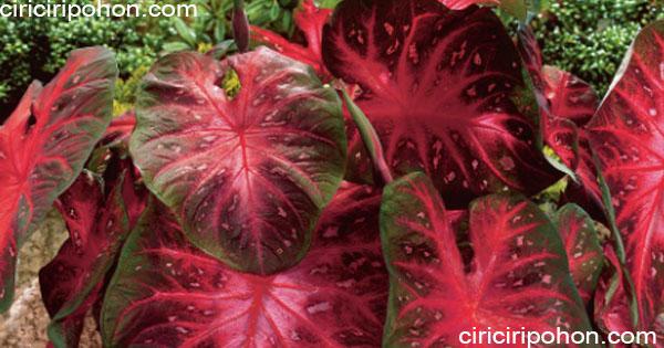 ciri ciri pohon Keladi Hias Red Star