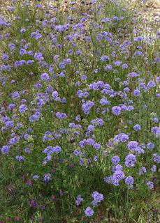 Purple wildflowers near Paso Robles, Califonia