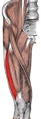 Vastus lateralis- www.physioscare.com