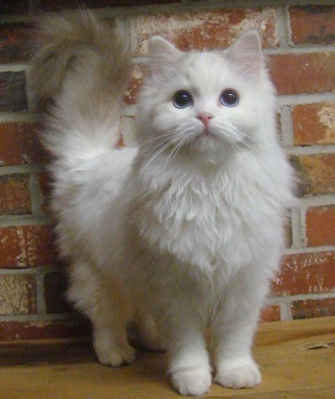 Cute Overload: Top 10 Most Friendliest Cat Breeds