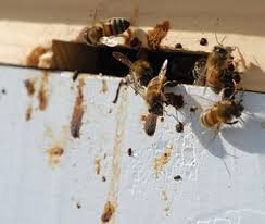 NOSEMA - ΝΟΖΕΜΙΑΣΗ: Διάγνωση και Θεραπεία της λοιμώδους ασθένειας Nosema των μελισσών