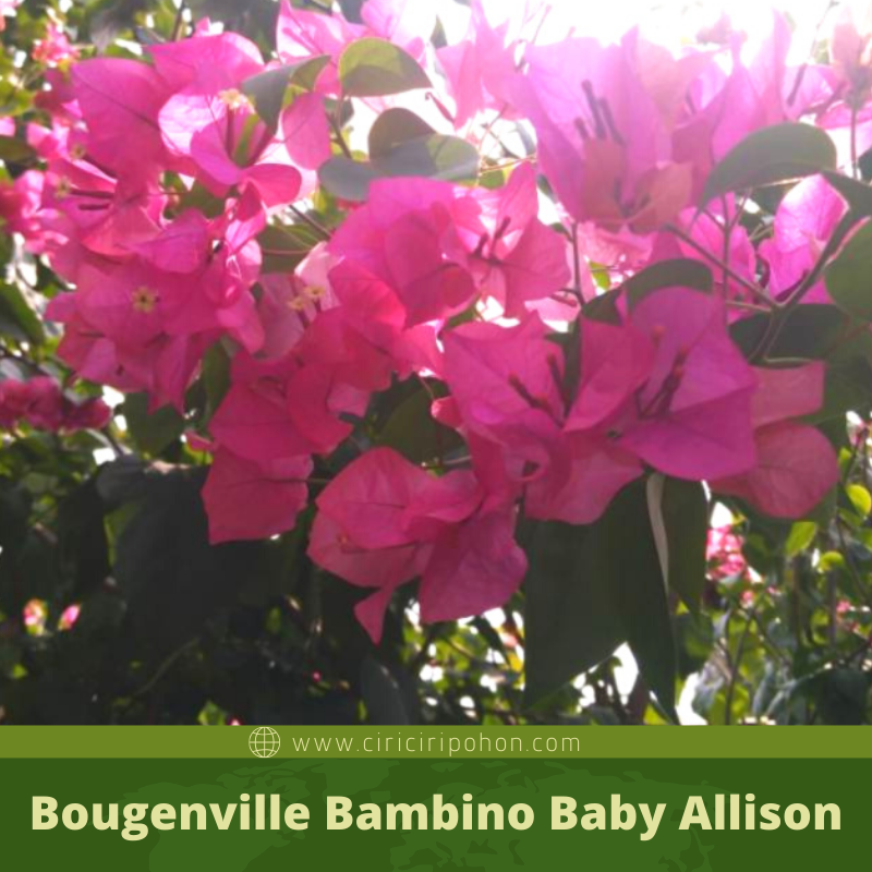 Bougenville Bambino Baby Allison