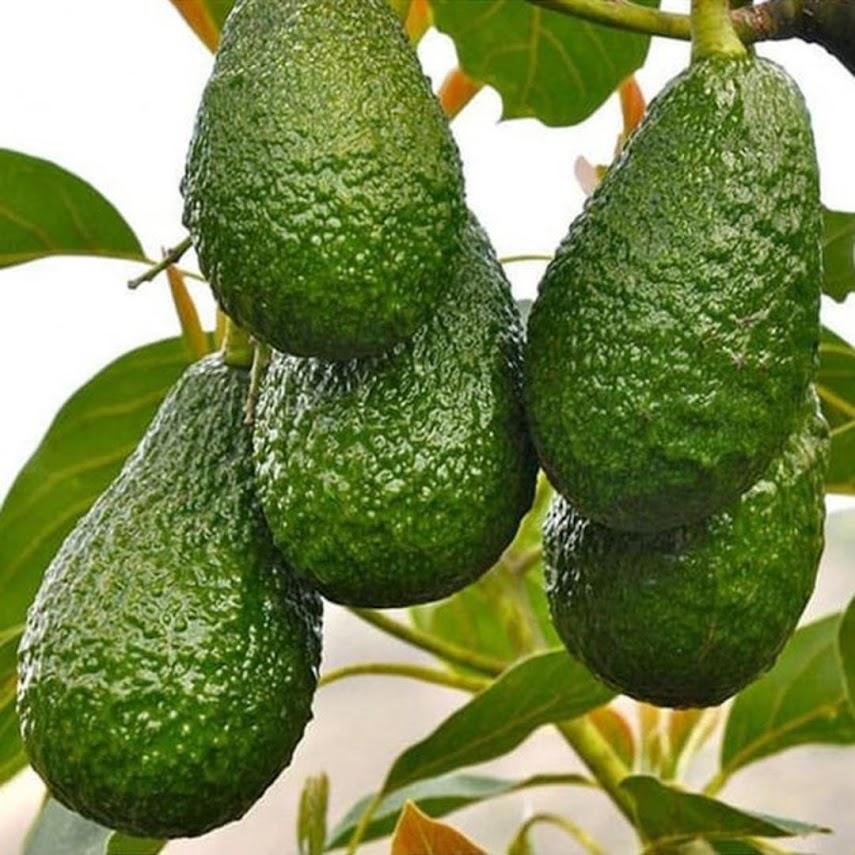 Bibit tanaman buah alpukat yamagata hasil okulasi cepat berbuah Sulawesi Utara