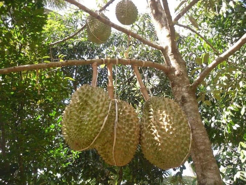 Bibit Durian Montong Pagaralam