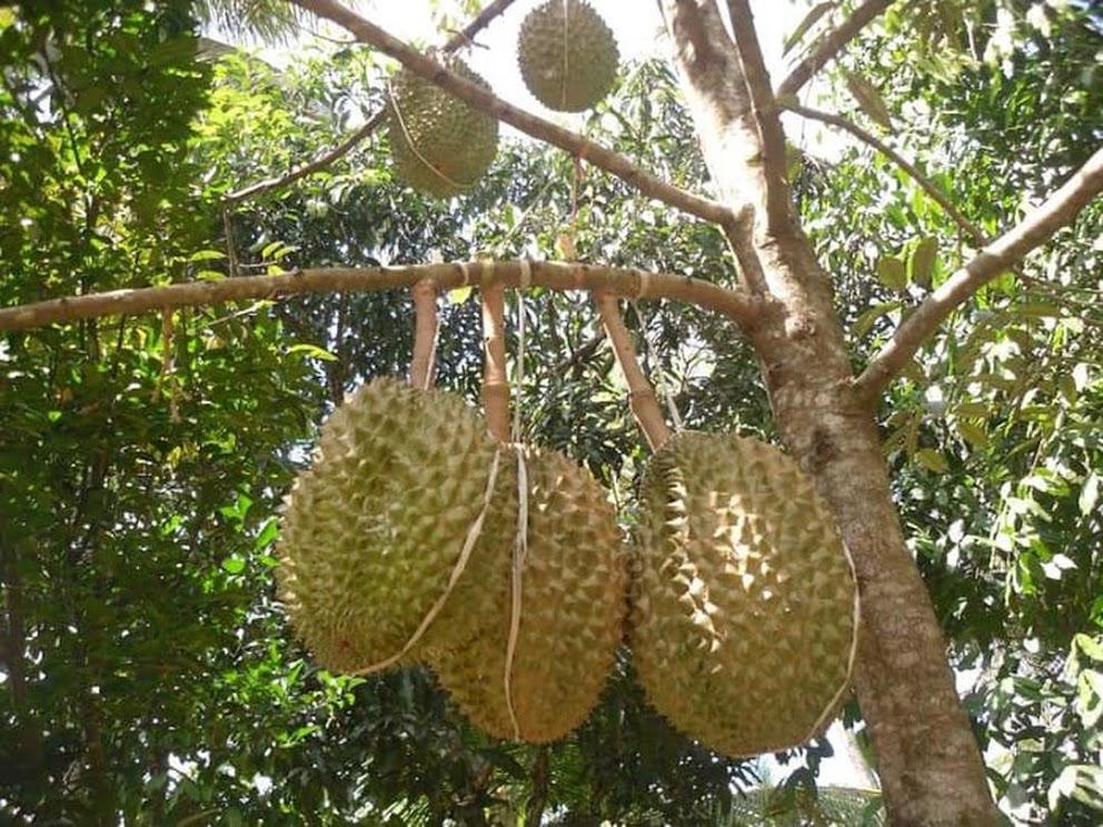 Bibit Durian Montong Jawa Barat