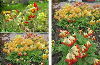 Gullviva gul röd orange