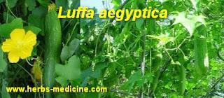 Hemorrhoids use Luffa aegyptica
