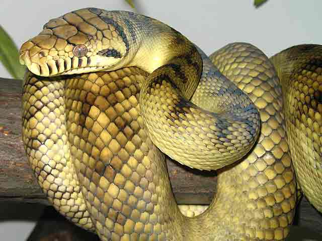 Ular Python terbesar di dunia