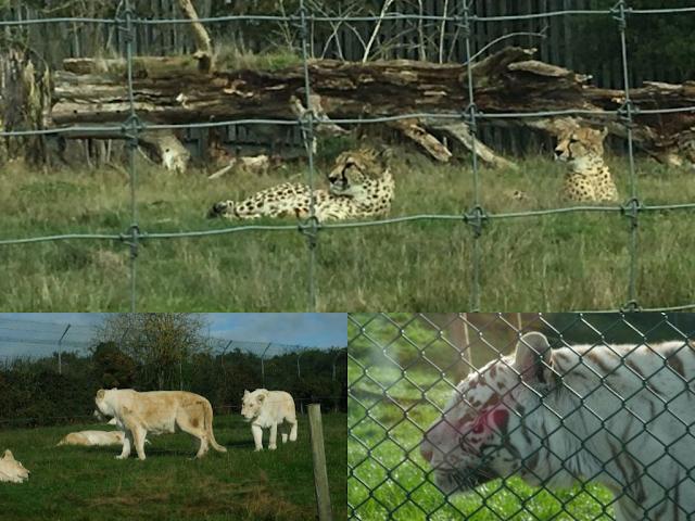 West Midlands Safari Park big cats, cheetah, white lion, Siberian tiger