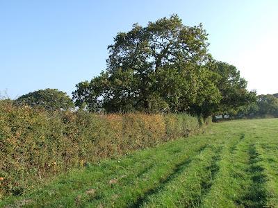 Hedgerow in farmland in Landican