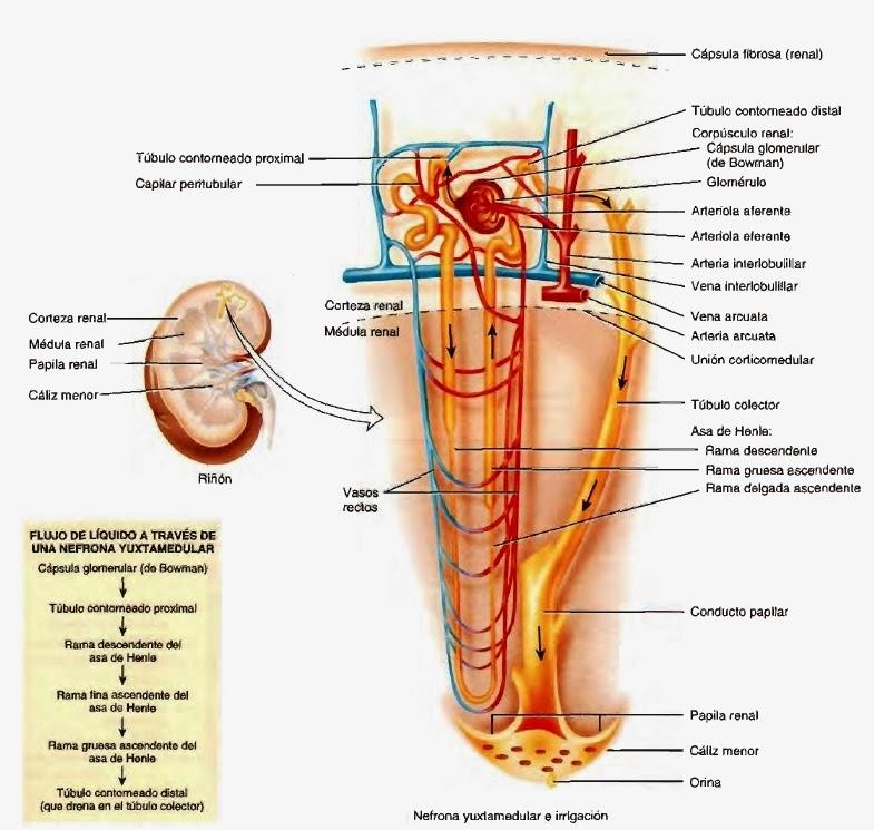 Riñones - Sistema urinario y sistema urogenital