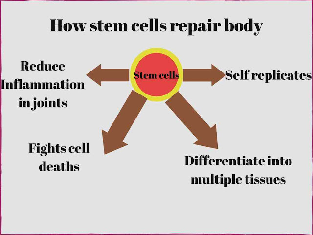 How stem cells repair body