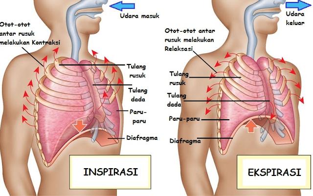 Soal Latihan Sistem Pernapasan (Respirasi Eksternal)