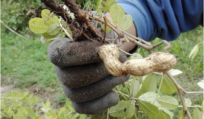Coltivare i legumi in un orto biologico: le arachidi