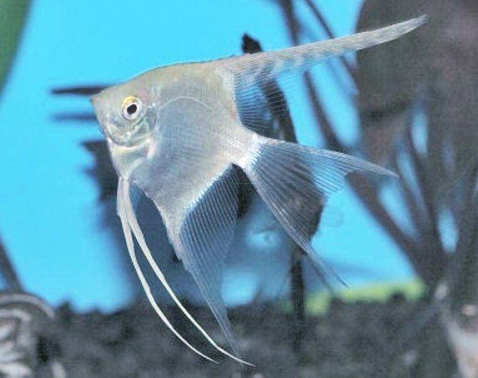 15 Jenis Ikan Manfish Atau Angelfish Lengkap Beserta Harganya Ikanesia Id