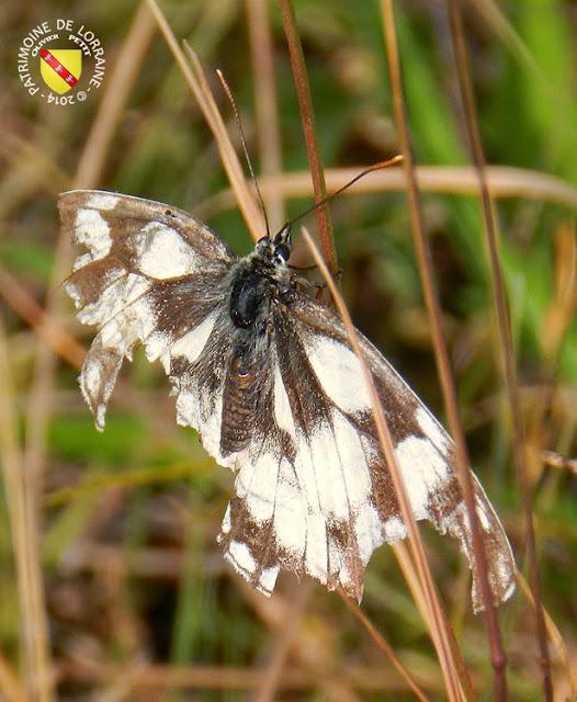 Demi-Deuil aux ailes arrachées