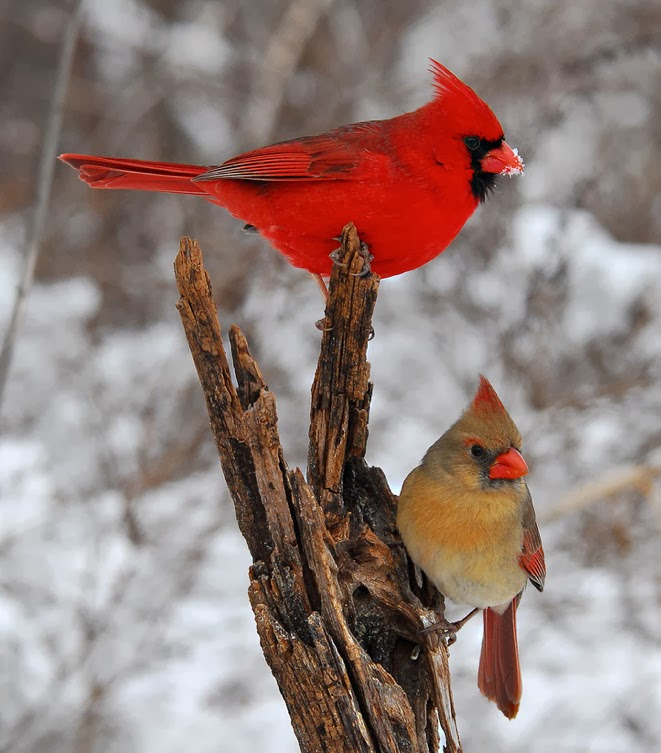 Pair of Northern Cardinal
