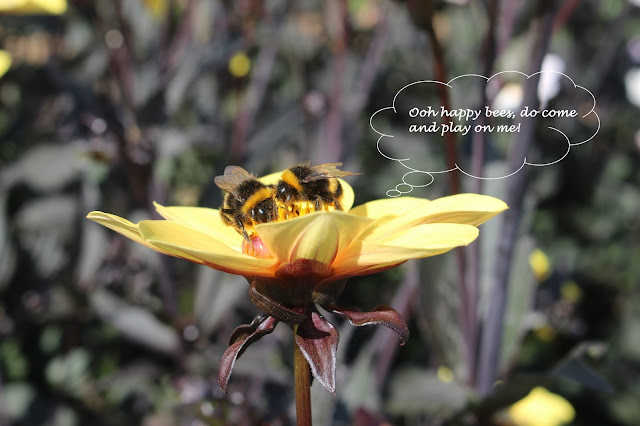 Bees playing on Dahlia 'Happy Single Party'