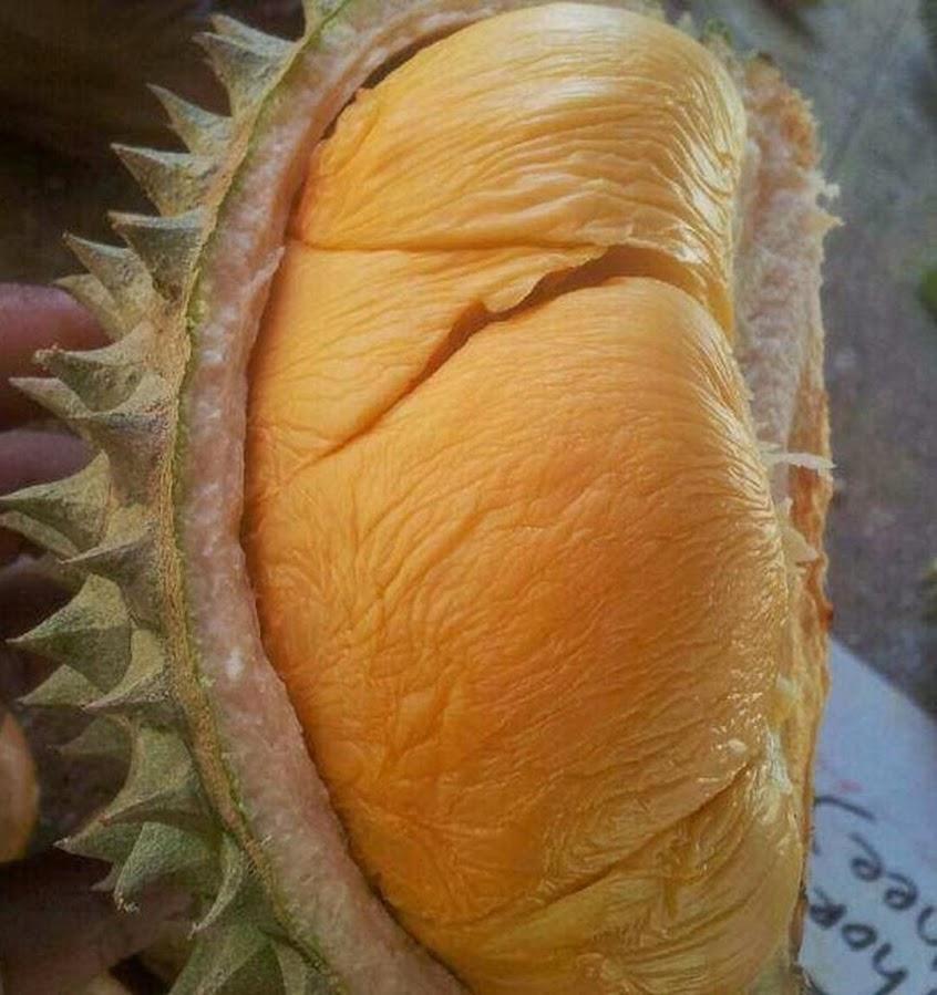 Bibit Durian Ochee Duri Hitam Bibit Durian Okulasi Jawa Tengah
