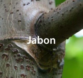 Teknis Budidaya Jabon